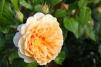 Rose Crown Princess Margareta