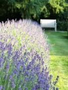 Lavender Walk