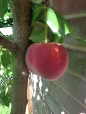 Peach growing on a peach tree