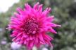 Dahlia Purple Gem