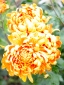 Chrysanthemum Alouise Orange
