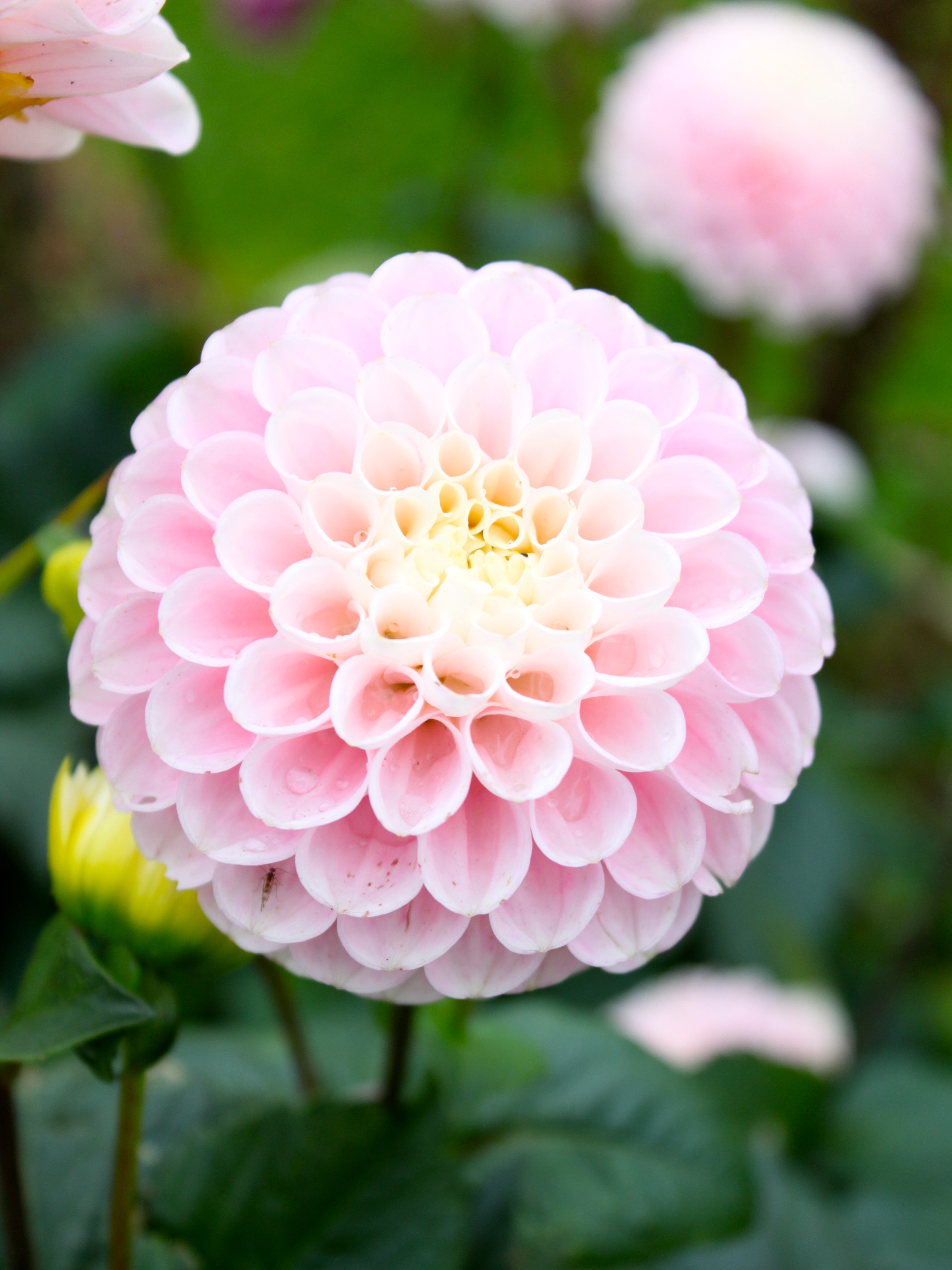 using trevor's and dahlia's accounts from This pin was discovered by trevor singh discover (and save) your own pins on pinterest labyrinth dahlia labyrinth dahlia  paper dahlia wedding bouquet: your.