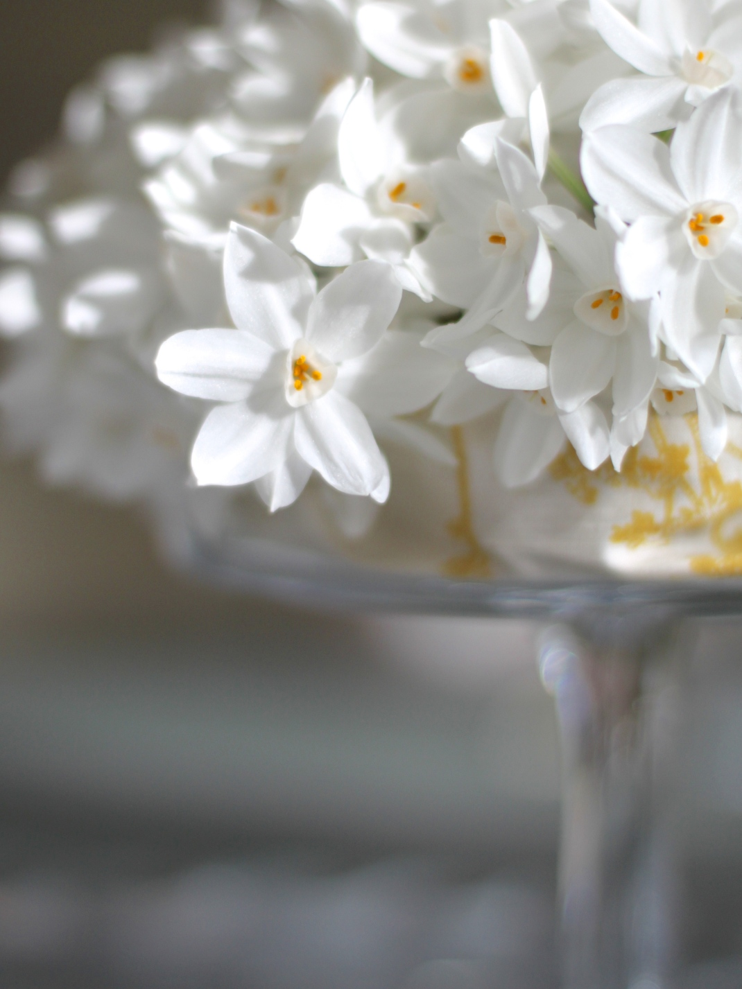 Narcissi Paperwhite