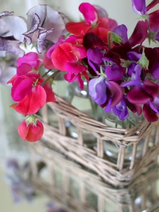 Sweet Pea Duke of York & Matucana