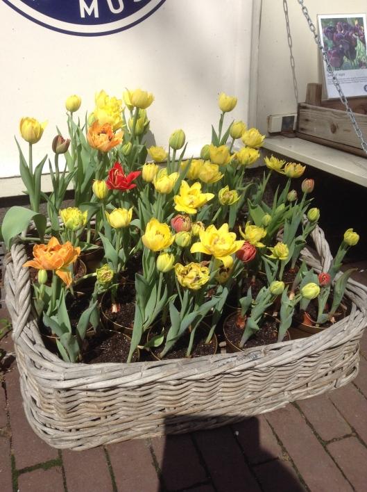 Tulips-In-Amsterdam