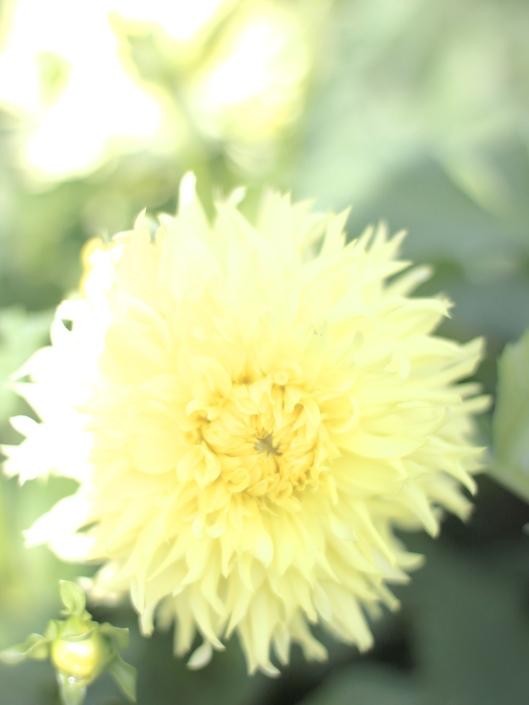 Dahlia-Canary-Fubuki
