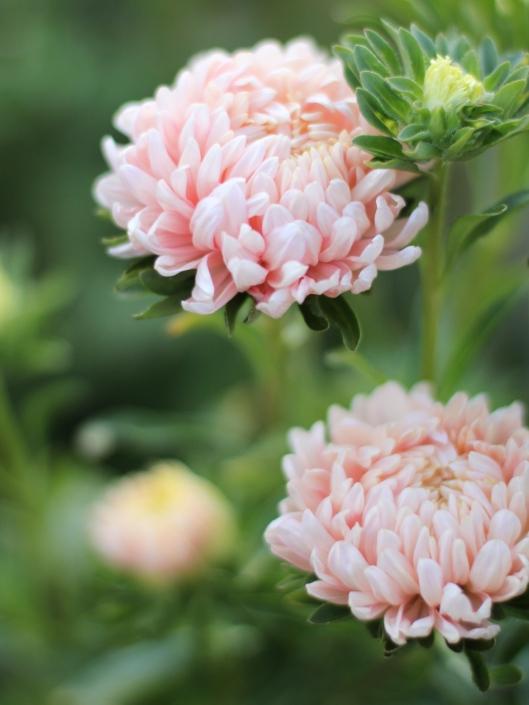 Peach-Aster
