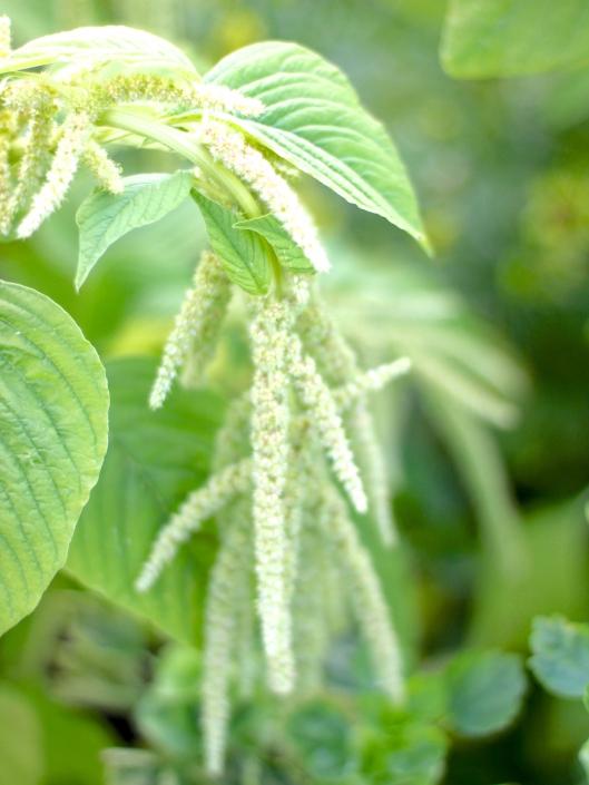 Green-Amaranthus