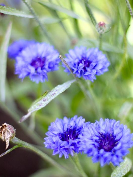 Blue-Cornflowers