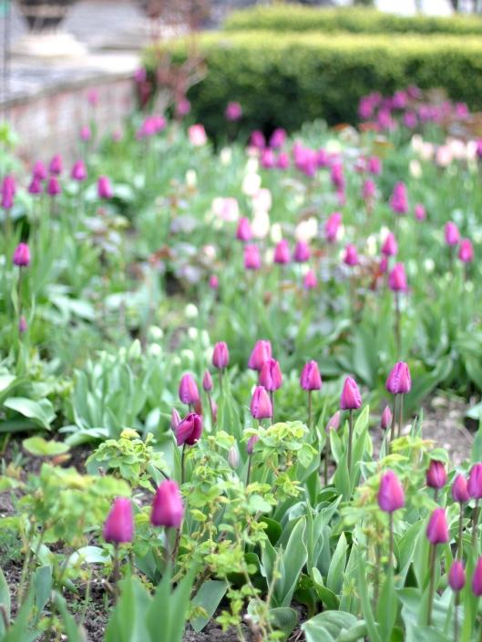 Tulips-Purple-Prince-and-Shirley