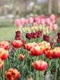 Cutting-Garden-Tulips