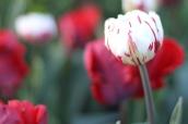Tulip-Carnaval-de-Nice