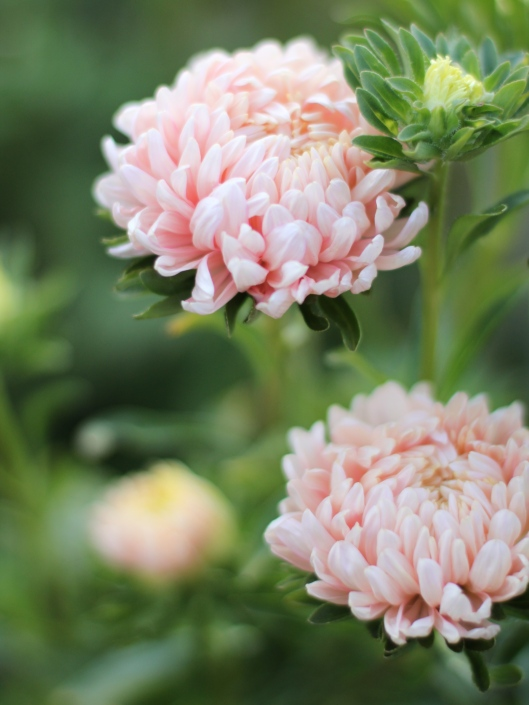 Aster-Chrysanthemum-Flowered-Apricot