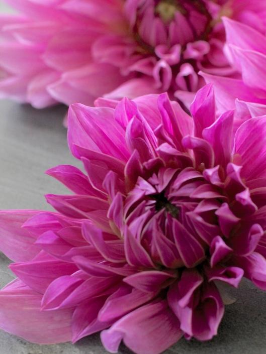 Dahlia-Lilac-Time