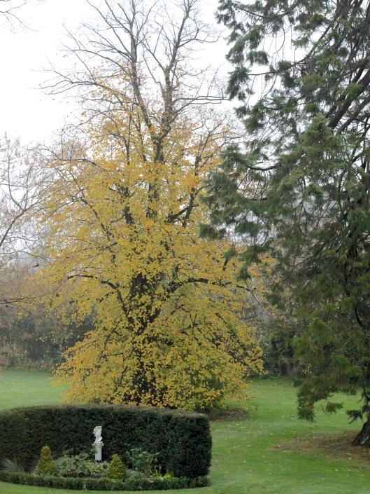 Autumn-Lime-Tree