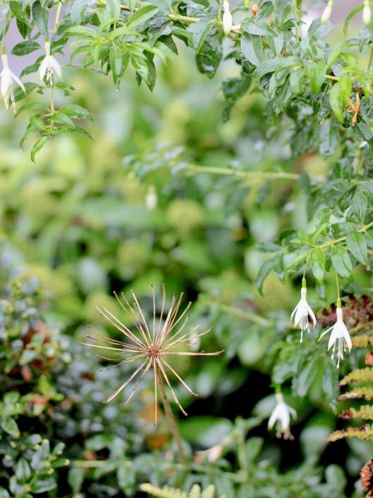 Fushsia-Hawkshead-and-Agapanthus-Seedhead
