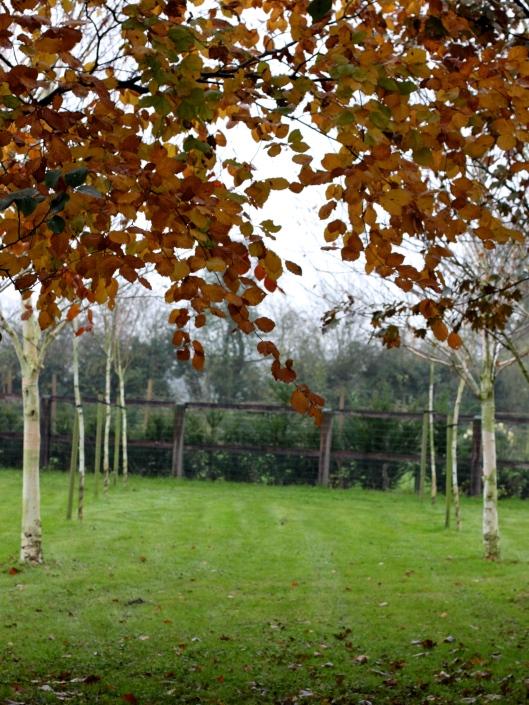 Silver-Birch-Trees