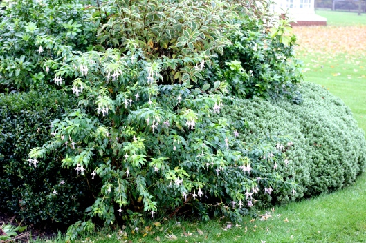 Fuchsia-magellanica-var-molinae